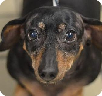 Dachshund Mix Dog for adoption in Richardson, Texas - Rosie Belle