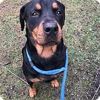Rottweiler Dog for adoption in Strongsville, Ohio - Miranda