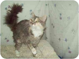 Maine Coon Cat for adoption in Orlando, Florida - Rosey