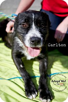 Terrier (Unknown Type, Medium)/Labrador Retriever Mix Dog for adoption in Burbank, California - Carlton - Amazingly sweet dog!
