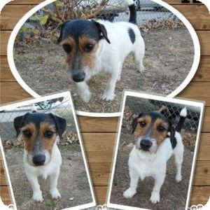 Jack Russell Terrier Dog for adoption in Houston, Texas - Boswell in Houston
