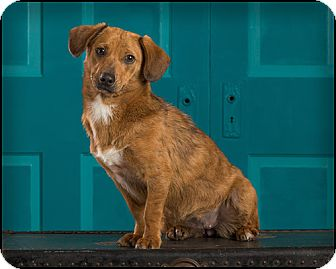 Dachshund/Terrier (Unknown Type, Small) Mix Dog for adoption in Owensboro, Kentucky - Missy