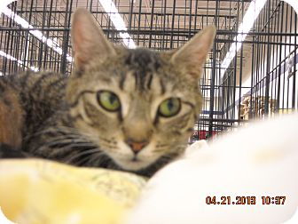 Domestic Shorthair Cat for adoption in Riverside, Rhode Island - Evageline