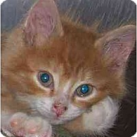 Adopt A Pet :: Iggy - Annapolis, MD