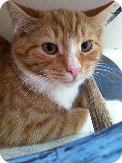 Domestic Shorthair Cat for adoption in Mount Laurel, New Jersey - Equinox