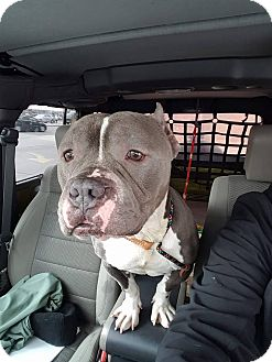Staffordshire Bull Terrier/Pit Bull Terrier Mix Dog for adoption in Villa Park, Illinois - Meatball