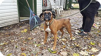 Boxer Dog for adoption in Antioch, Illinois - Harriet ADOPTED!!
