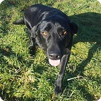 Adopt A Pet :: Blue-Big Ole Teddy Bear - Kirkland, WA