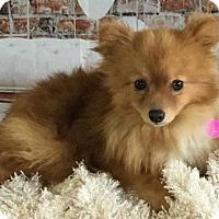 Adopt A Pet :: Pluto - Dallas, TX