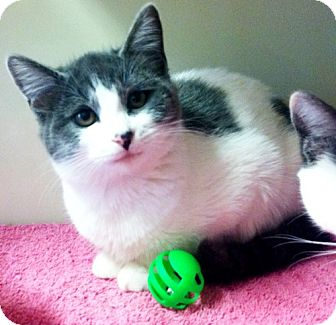 Domestic Shorthair Kitten for adoption in Red Bluff, California - Amailia