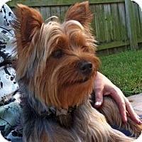 Adopt A Pet :: Angus - Gulfport, FL