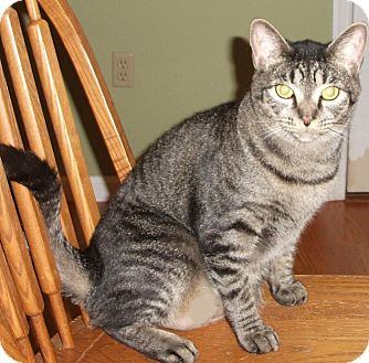 Domestic Shorthair Cat for adoption in Colmar, Pennsylvania - Sammee