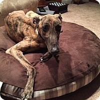 Adopt A Pet :: Pauley - Seattle, WA