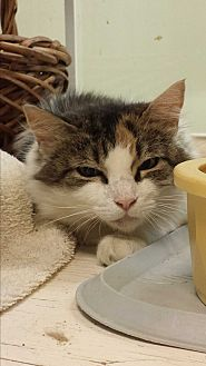 Domestic Longhair Cat for adoption in Walden, New York - Mahogany