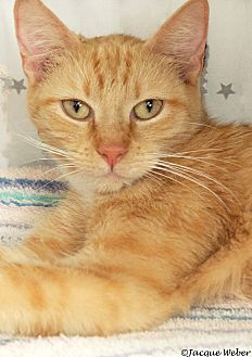 Domestic Shorthair Cat for adoption in St Louis, Missouri - Hattie