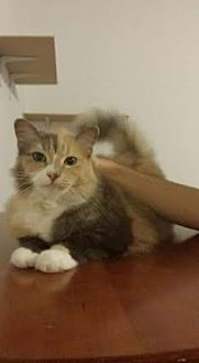 Domestic Shorthair Cat for adoption in Sunny Isles Beach, Florida - Kiara