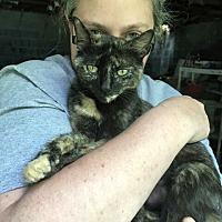 Calico Cat for adoption in Waynesville, North Carolina - Paisley