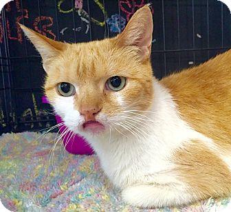 Domestic Shorthair Cat for adoption in Cerritos, California - Ansley
