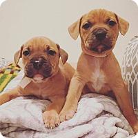 Adopt A Pet :: Josie - Reisterstown, MD