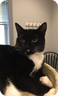 Domestic Shorthair Cat for adoption in Lafayette, New Jersey - Elise