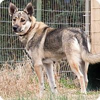 Adopt A Pet :: Lilly the German Shepherd - Midlothian, VA