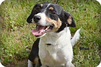 Beagle/Rat Terrier Mix Dog for adoption in Glastonbury, Connecticut - Bitsie