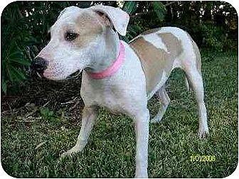American Bulldog/American Pit Bull Terrier Mix Dog for adoption in Houston, Texas - Abba