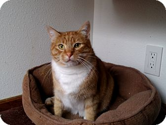Domestic Shorthair Cat for adoption in Seattle, Washington - Metric-Foster Home Needed