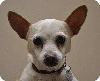 Chihuahua Mix Dog for adoption in Gilbert, Arizona - Kush