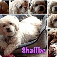 Adopt A Pet :: Shallbe - East Hanover, NJ