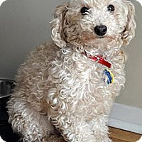 Adopt A Pet :: Daisy - Toronto, ON