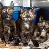 Adopt A Pet :: Seeta, Mara, and Laju - Encinitas, CA