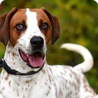 Adopt A Pet :: Flash (Gordon) - Brooklyn, NY
