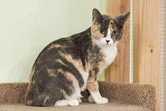 Calico Cat for adoption in Chicago, Illinois - Liz