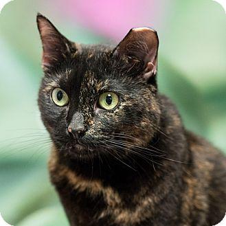 Domestic Shorthair Cat for adoption in Houston, Texas - Bianca