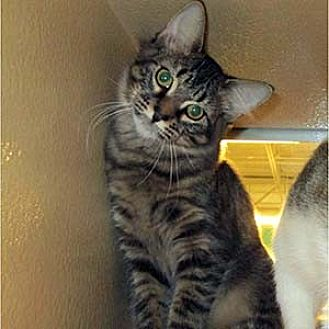 Domestic Mediumhair Cat for adoption in Garner, North Carolina - Lionel