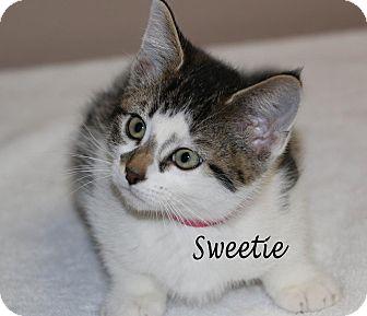 Domestic Shorthair Kitten for adoption in Idaho Falls, Idaho - Sweetie