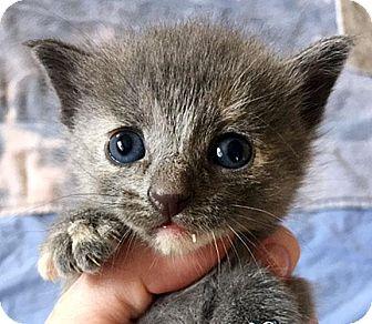 Russian Blue Kitten for adoption in Fort Leavenworth, Kansas - Pearl