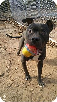 Bulldog/Pit Bull Terrier Mix Dog for adoption in Parsippany, New Jersey - *ADOPTION PENDING* Ralph