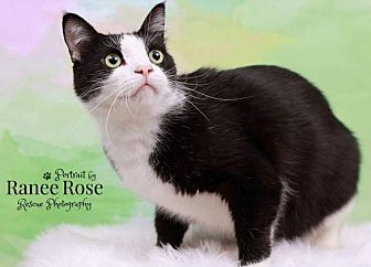 Domestic Shorthair Cat for adoption in Sterling Heights, Michigan - Mr. Chill