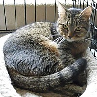 Domestic Shorthair Cat for adoption in San Antonio, Texas - Candyce