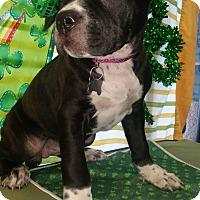 Adopt A Pet :: Cuddles - Detroit, MI