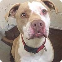 Adopt A Pet :: Boss - Springdale, AR