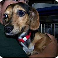 Adopt A Pet :: Sasha - Toronto/Etobicoke/GTA, ON