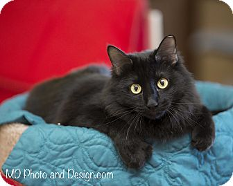 Domestic Mediumhair Cat for adoption in Fountain Hills, Arizona - Bora
