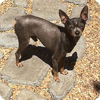 Miniature Pinscher/Chinese Crested Mix Dog for adoption in Davie, Florida - Zayn