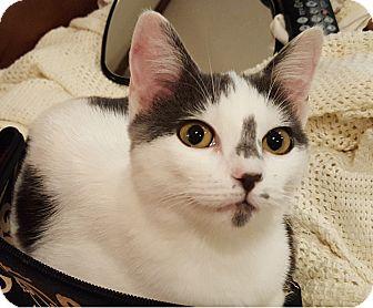 Domestic Shorthair Cat for adoption in Huntsville, Alabama - Blue
