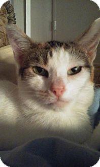 Calico Cat for adoption in Los Angeles, California - Destiny