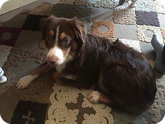Anatolian Shepherd Puppy for adoption in ROME, New York - Murphy