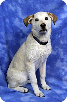 Retriever (Unknown Type) Mix Dog for adoption in Westminster, Colorado - EMILY